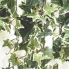 botanischeposter-hedradetail
